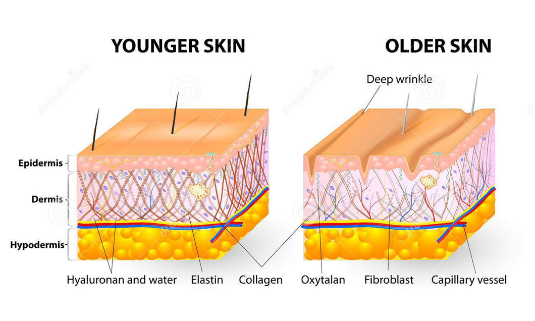 Collagen Amp Elastin The Skins Youth Proteins